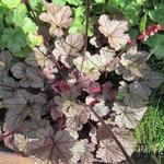 Heuchera 'Magic Color' - Purperklokje
