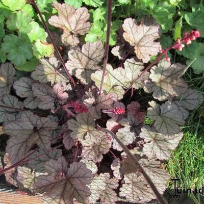 Heuchera 'Magic Color' -