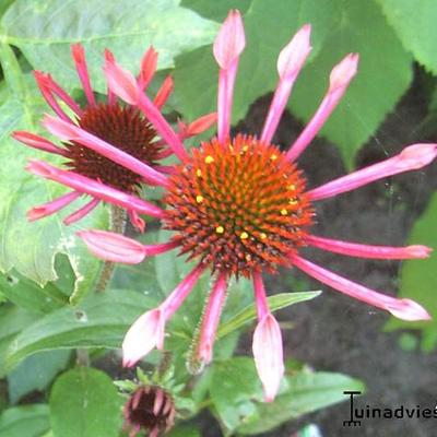 Echinacea purpurea 'Sunset' -