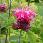 Bergamotplant - Monarda didyma 'Pink Lace'