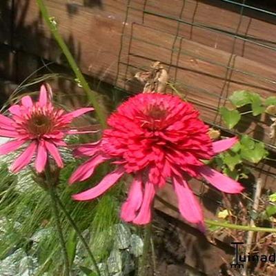 Echinacea purpurea 'Gum Drop' -