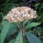 Viburnum rhytidophyllum - Viburnum - Viburnum rhytidophyllum