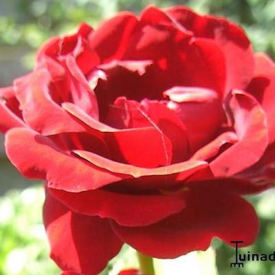 Rosa 'That's Jazz' -
