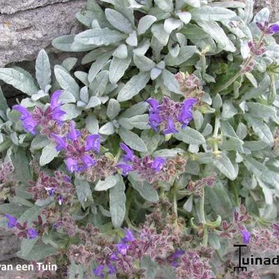 Salvia canescens var. daghestanica -