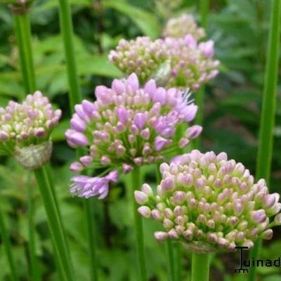 Allium senescens  montanum - Sierui, Berglook - Allium senescens  montanum