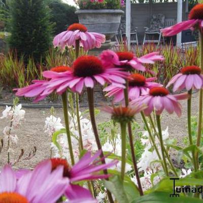 Echinacea purpurea 'Prairie Splendor' -