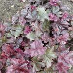 Purperklokje - Heuchera 'Frosted Violet'