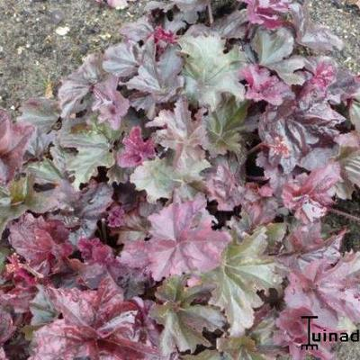 Heuchera 'Frosted Violet' - Purperklokje - Heuchera 'Frosted Violet'