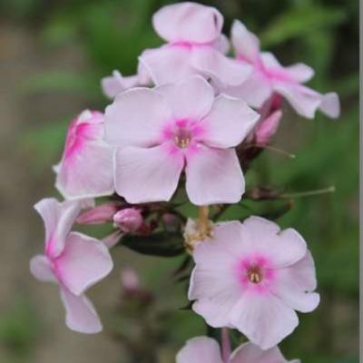 Phlox paniculata 'SWEET SUMMER Sensation' -