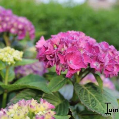 Hydrangea macrophylla 'Red Baron' -