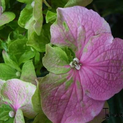 Hydrangea macrophylla 'Rosita' -