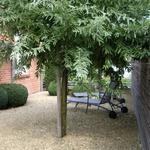 Elaeagnus angustifolia - Elaeagnus angustifolia - Olijfwilg,Smalle olijfwilg