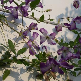 Clematis viticella  'I Am Lady J'