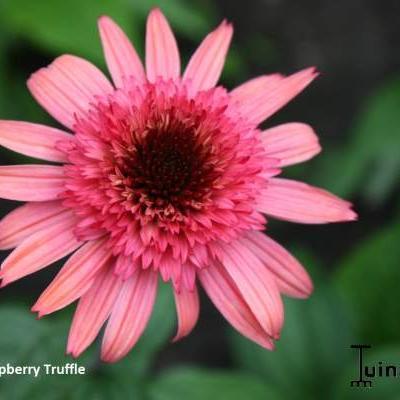 Echinacea purpurea 'Raspberry Truffle' -