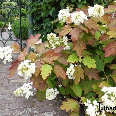 Hydrangea quercifolia 'Sikes Dwarf' -
