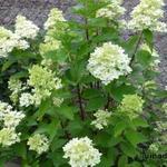 Hydrangea paniculata 'MAGICAL Candle' - Hortensia, Pluimhortensia - Hydrangea paniculata 'MAGICAL Candle'