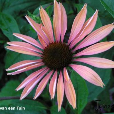 Echinacea purpurea 'Summer Sky' -