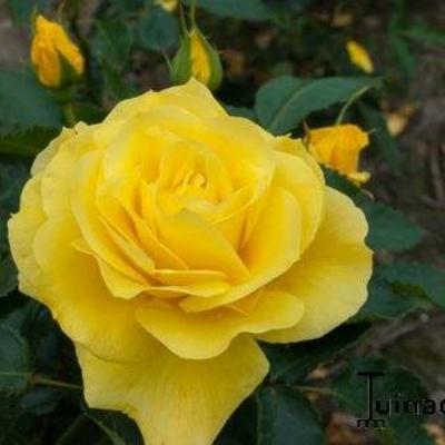Rosa 'Friesia' -