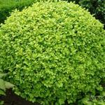 Buxus sempervirens 'Notata' - Buxus, palm