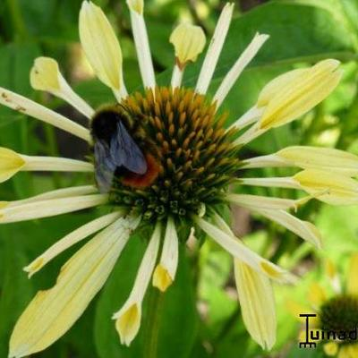 Echinacea purpurea 'Yellow Spider -