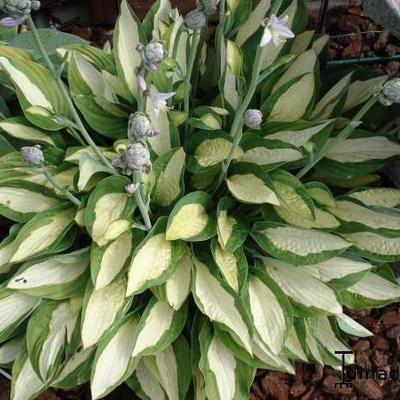 Hosta 'Gypsy Rose' -