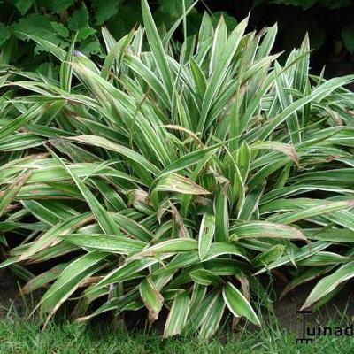 Carex siderosticha 'Variegata'  -