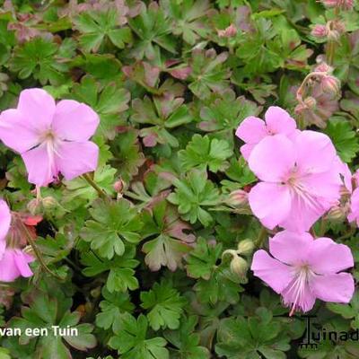 Geranium dalmaticum - Ooievaarsbek - Geranium dalmaticum