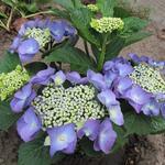 Hydrangea macrophylla 'Blaumeise' - Hortensia - Hydrangea macrophylla 'Blaumeise'