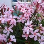 Nerium oleander - Nerium oleander - Oleander