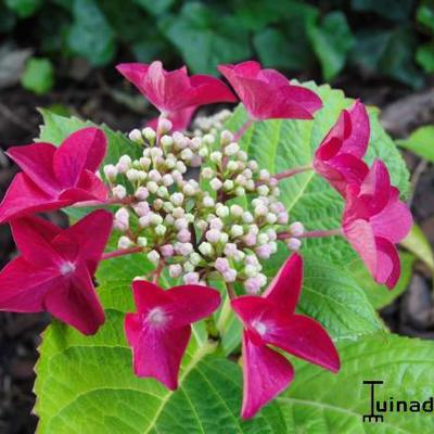 Hydrangea macrophylla 'Teller Red'  -