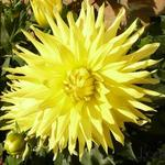 Dahlia 'Yellow Passion' - Dahlia