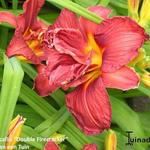 Hemerocallis 'Double Firecracker' - Daglelie