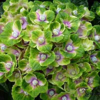 Hydrangea macrophylla 'MAGICAL Amethyst' -