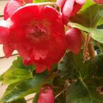Begonia pendula - Begonia pendula - Hangbegonia