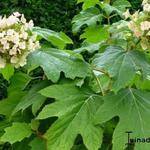 Hydrangea quercifolia 'Burgundy' - Hydrangea quercifolia 'Burgundy' - Eikenbladhortensia