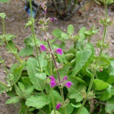 Salvia pratensis 'Royal Crimson Distinction' -