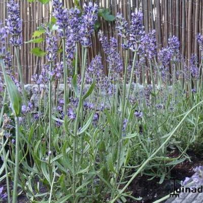 Lavandula angustifolia 'Aromatico Blue' -