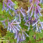 Corydalis elata - Helmbloem - Corydalis elata