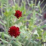 Knautia macedonica 'Red Knight' - Beemdkroon, Weduwebloem - Knautia macedonica 'Red Knight'