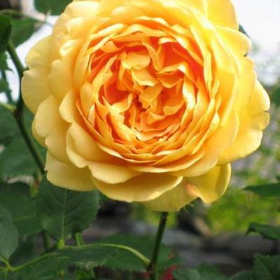 Rosa 'Golden Celebration' -