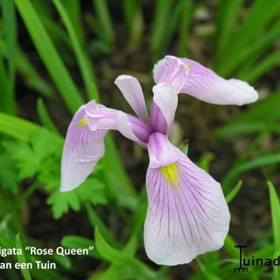 Iris laevigata 'Rose Queen ' -