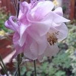 Aquilegia vulgaris var. flore-pleno 'Pink Bonnets' - Aquilegia vulgaris var. flore-pleno 'Pink Bonnets' - Akelei