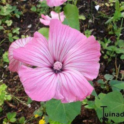 Lavatera trimestris -