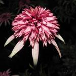 Echinacea purpurea 'Strawberry Shortcake' - Rode zonnehoed