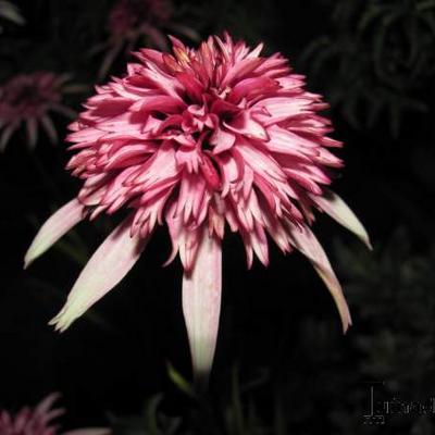 Echinacea purpurea 'Strawberry Shortcake' -