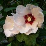 Hibiscus syriacus 'Red heart' - Altheastruik - Hibiscus syriacus 'Red heart'