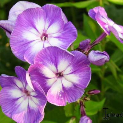 Phlox paniculata 'Blue Boy' -