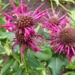 Bergamotplant - Monarda 'Donnerwolke'