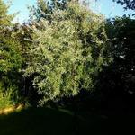 Pyrus salicifolia 'Pendula' - Pyrus salicifolia 'Pendula' - Treurpeer