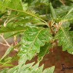 Fagus sylvatica var. heterophylla 'Aspleniifolia' - Varenbeuk - Fagus sylvatica var. heterophylla 'Aspleniifolia'